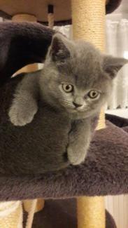 BKH - Kitten Ab SOFORT abholbereit in Bayern - Hilpoltstein | Britisch Kurzhaar Katzenbabys kaufen | eBay Kleinanzeigen