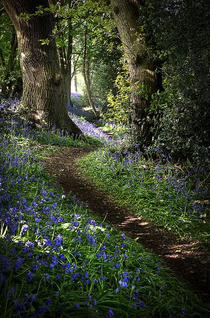 A path through the bluebells. oculi-ds:  Bluebell 02 by Matt Oliver photography on Flickr.