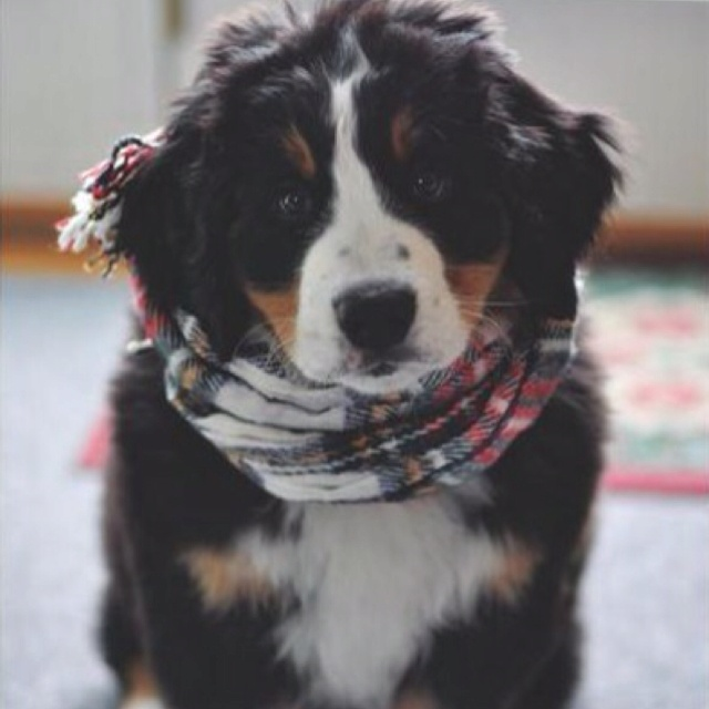 SO cute!!!!!!!Bern Mountain Dogs, Puppies, Bernese Mountain Dogs, Friends, Dreams, Cutest Dogs, Christmas, Scarves, Animal