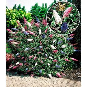 PN3044 Pflanzen - Baum & Strauch - Laubgehölze - Sommer-Flieder 'Papillion Tricolor',1 Pflanze