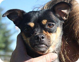 Angola, IN - Chihuahua/Miniature Pinscher Mix. Meet Precious, a dog for adoption. http://www.adoptapet.com/pet/17009079-angola-indiana-chihuahua-mix