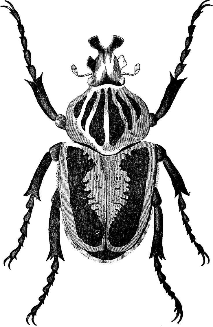 De goliathkever is de zwaarste nog levende keversoort