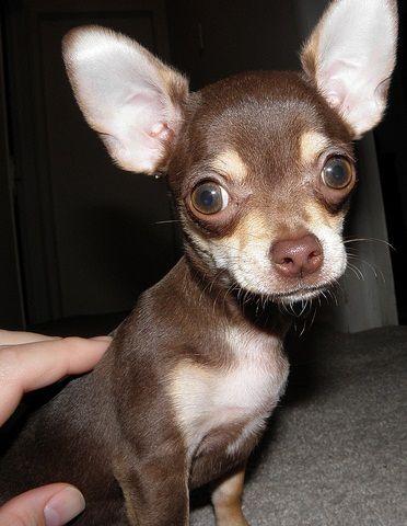 Five Really Tiny Dog Breeds
