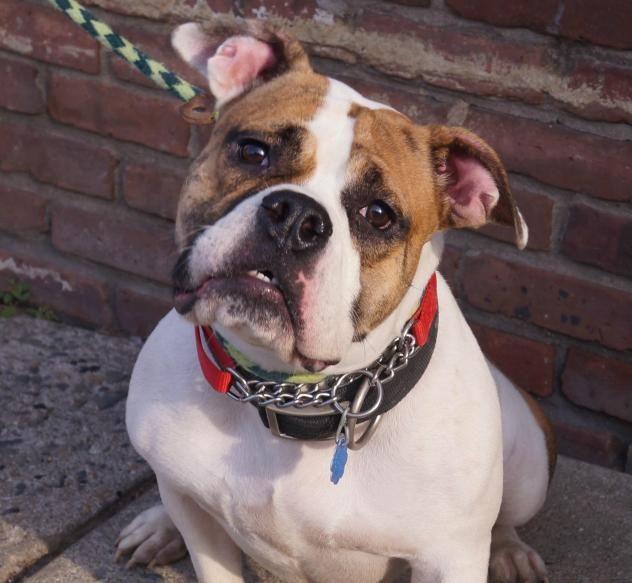 Adopted! Bubbles - English Bulldog mix - Newark, NJ. 2 yrs old