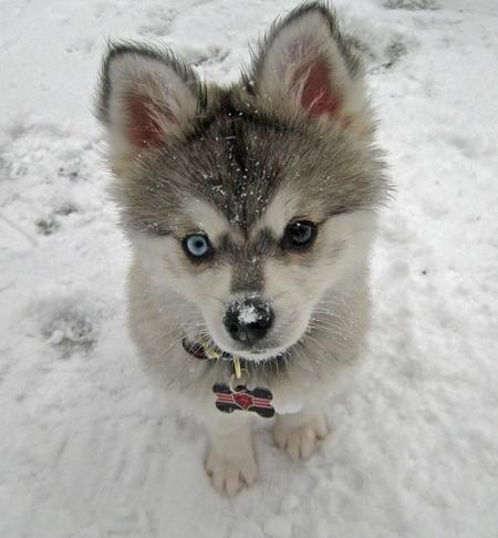 Alaskian Klee Kai (toy husky).