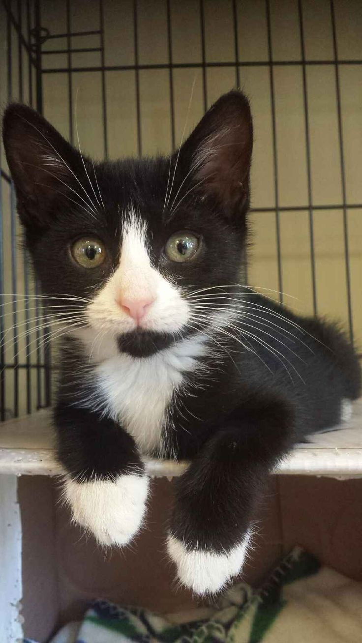"""Without a doubt, no one looks better in a tux (with the possible exception of Penguins and James Bond) than Mr. Tux! """"This is Mr. Tux! He's about 6 weeks old and I found him at my local cat rescue,..."""