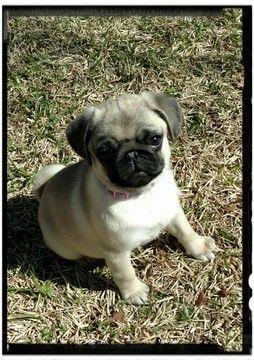 Pug Puppy For Sale In Leland Nc Adn 71588 On Puppyfindercom