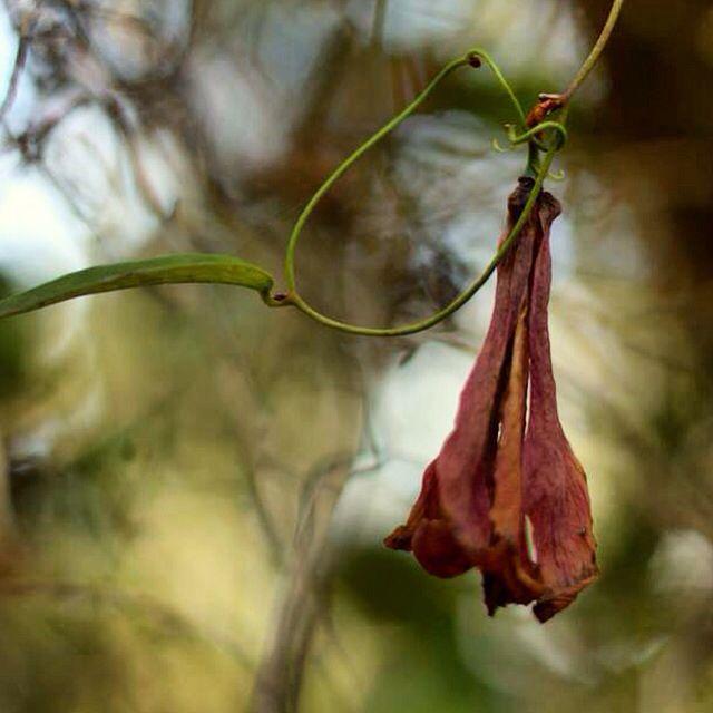 Copihue en Reserva Nacional de Nonguen - Fotografía por J.Simone