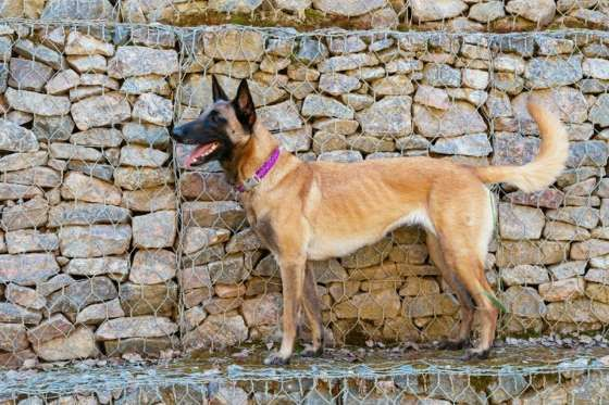 Jump in Rank: 9Puppy Price: $6002015 Rank: 512014 Rank: 60Belgian Malinois are very active and are g... - Shutterstock