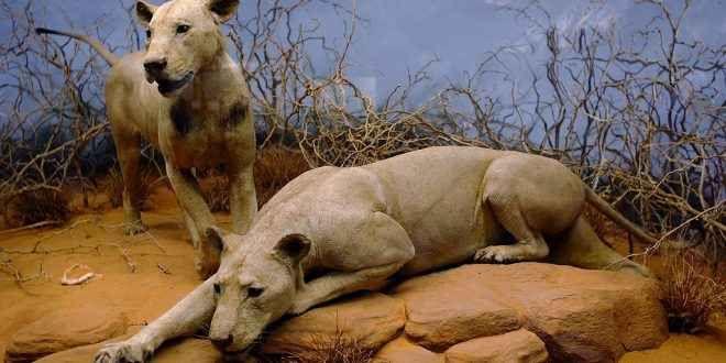 I due leoni mangia uomini più famosi al mondo Mangiatori di uomini dello Tsavo è il soprannome dato a due leoni che compirono una serie di attacchi ad esseri umani nel 1898 in Kenya, nei pressi del fiume Tsavo, durante la costruzione di un ponte