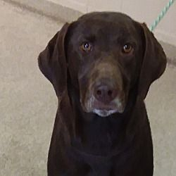 Pictures of Ethel a female Labrador Retriever for adoption in Troy, OH who needs a loving home. Available at Miami County Animal Shelter.