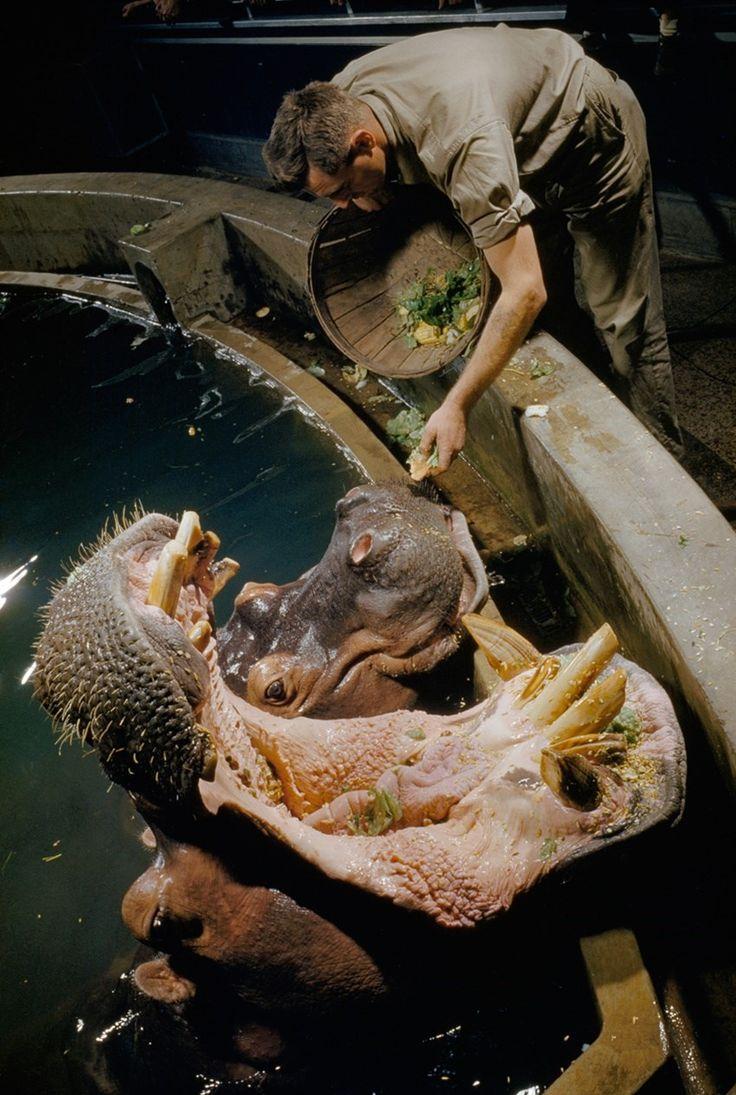 Hipopótamos sendo alimentados, em 1957