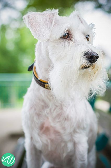 Watching Some Joggers by Kathryn Willis Photography #Miniature #Schnauzer