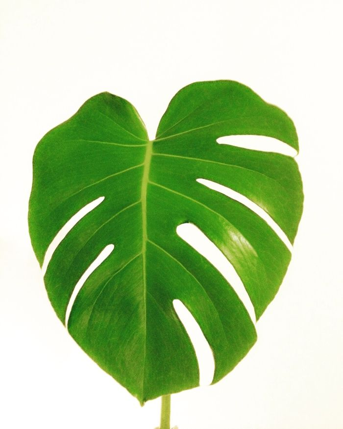 Watercolor Green Plants Monstera Nature Posters And Prints: Monstera Leaf Art Print