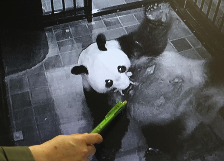 Personal del zoológico de Ueno Mikako Kaneko, en Tokio, muestra una imagen del momento en que el panda gigante ShinShin sostiene a su cachorro recién nacido con su boca (AP)