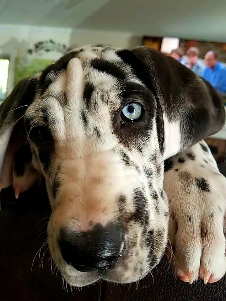 Harlee Quinn The Harlequin Great Dane Dogs Dogs Puppies Animals