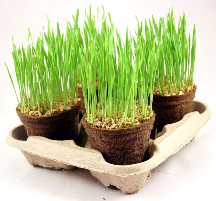 Wheatgrass is very popular with our health and fitness fanatics!