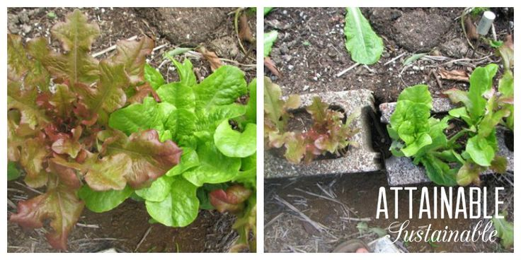 Don't pull the entire plant! Lettuce can be a cut and come again crop.