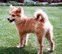 Afbeeldingsresultaat voor kleine honden rassen
