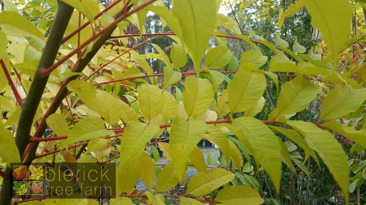 Cedrella sinensis – Chinese Toon – Purchase Bare Rooted Trees Online