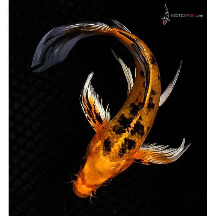 """7.5"""" Kin Aka Bekko Butterfly Koi   Koi Fish For Sale"""