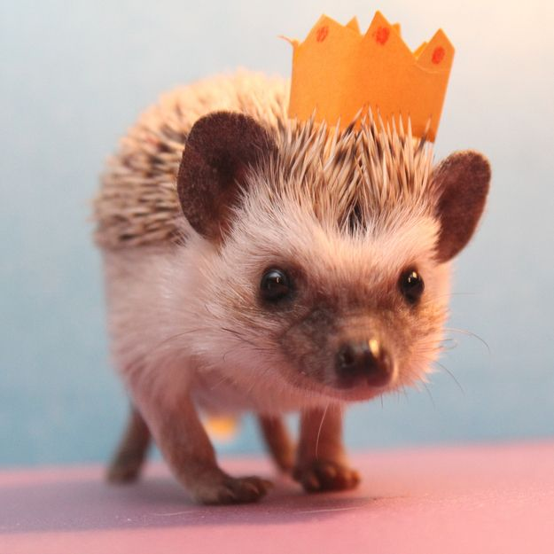 King of the Universe | 30 Lucrative Occupations For Hedgehogs