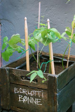 Drum-sticks as exclusive plant-support for Borlotti beans