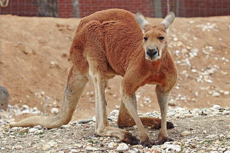 Red kangaroo - Wikipedia