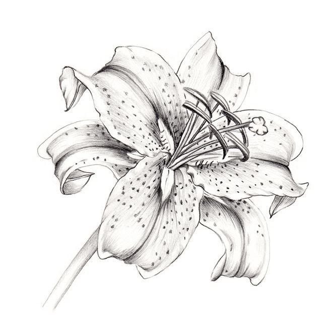 how to draw a star lily yahoo image search results