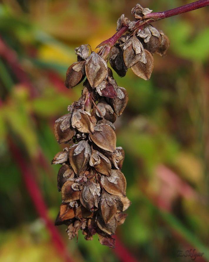 Изображение растения Fagopyrum esculentum.