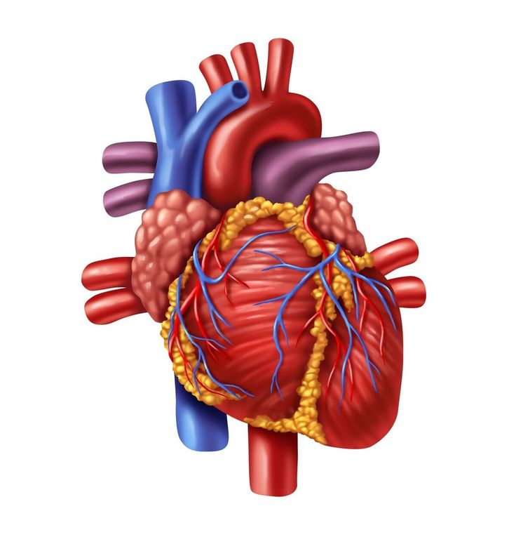 Anatomy And Physiology  External Structures Of The Heart