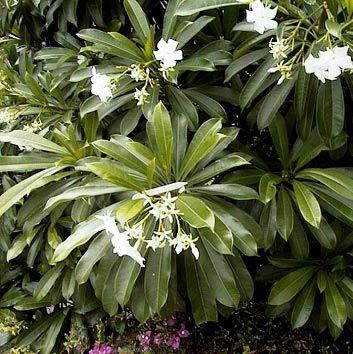 Jardineria en el oeste bonaerense: Cerbera Odollam - Suicide tree - Manga Brava - Pong-pong