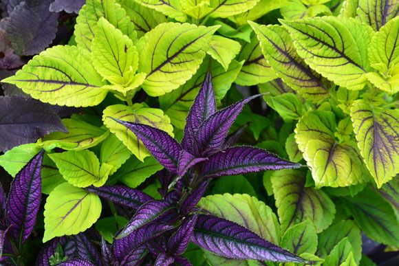 Great container combo - Lime green Coleus with Persian Shield