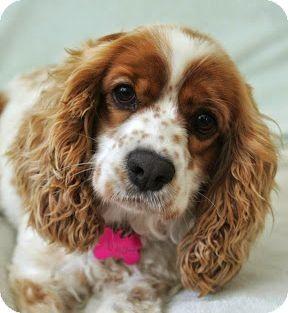 Sherman Oaks, CA - Cocker Spaniel/Cavalier King Charles Spaniel Mix. Meet Angie a Dog for Adoption.