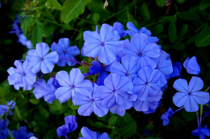 Pin By Ilove Flowers On Flower Pinterest Best Blue Garden Trees And Ideas