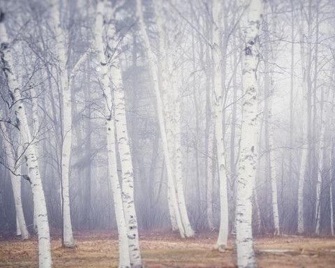 trees (Maine landscape photography print of birch trees in fog by Allison Trentelman, rockytopstudio.com)