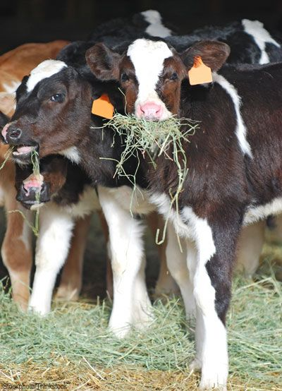 Different livestock have different nutrient requirements, so choose your animal's hay accordingly. Photo courtesy iStockphoto/Thinkstock (HobbyFarms.com)
