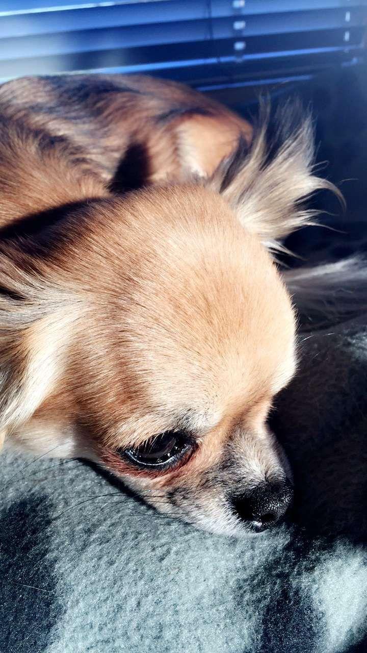 Dog chiuaue