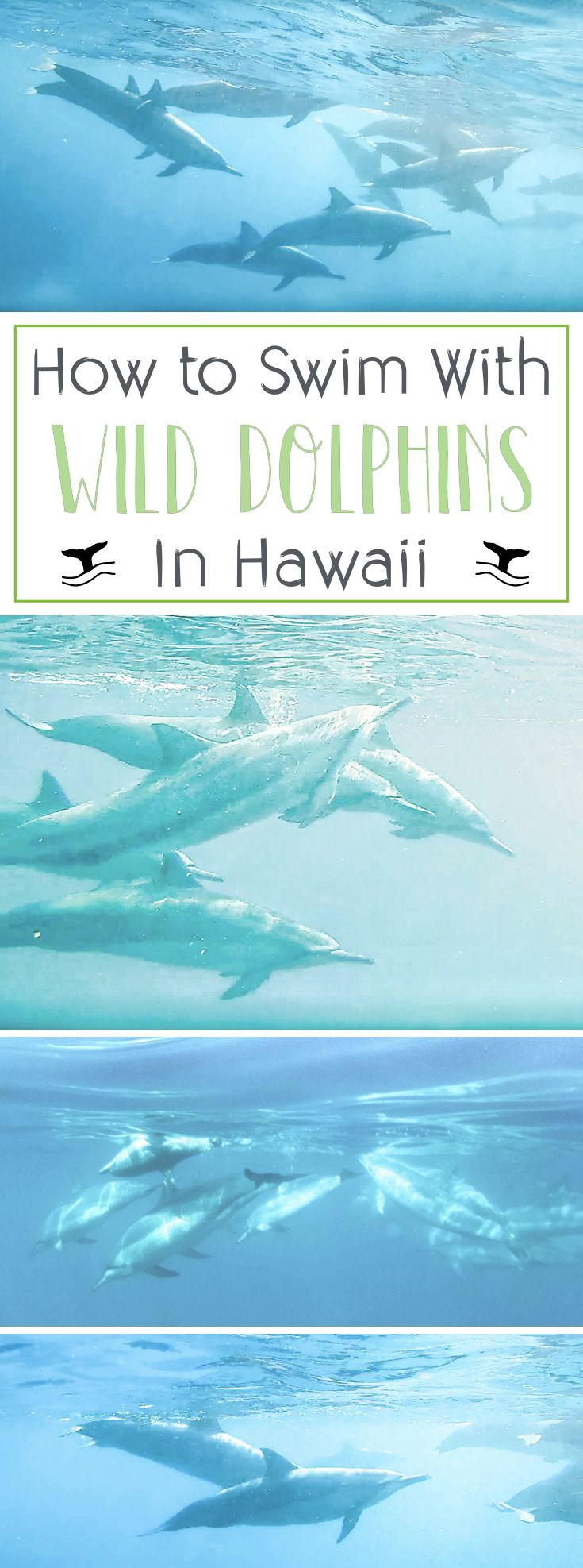 How to Swim with Wild Dolphins on Hawaii's Big Island. Where to find & snorkel with dolphins on Hawaii Island + tips and tricks for a successful adventure.