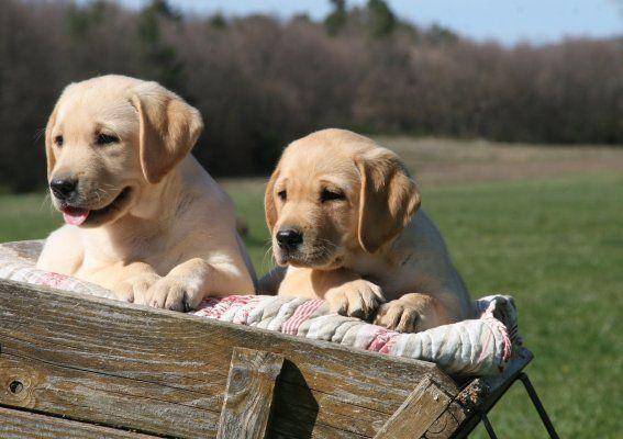 Elevage du clos de Nissa-Bella - eleveurs de chiens Labrador Retriever et Golden Retriever