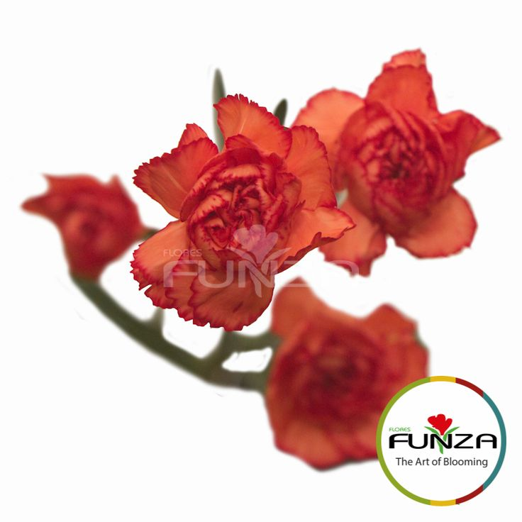Orange Spray Carnation from Flores Funza. Variety: Guadalupe. Availability: Year-round.