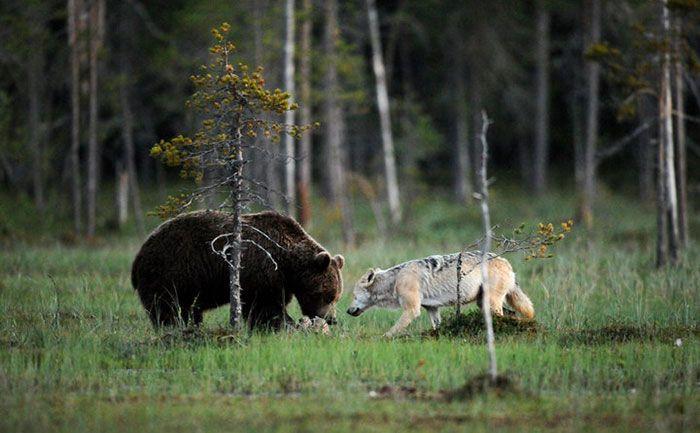 rare-animal-friendship-gray-wolf-brown-bear-lassi-rautiainen-finland-picture