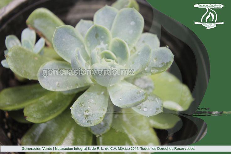 Echeverria, de la familia de plantas suculentas