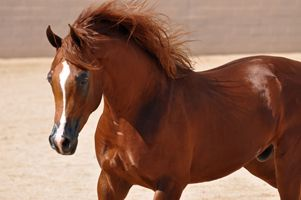 "Arabian Horses by River Valley Arabians - Arabian Horses for sale, Stallions, Mares, Foals, Breeder, Horse Farm ""Prince of Antigua"""