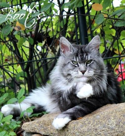 Maine Coon, black silver blotched & white (ns 09 22). SC Boots That Purr of Sherokee of Atlantic Acadia