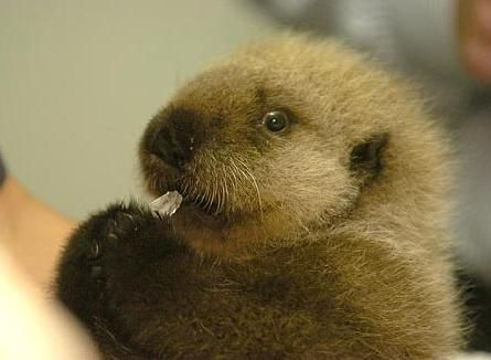 Just too cute!: Adorable Sea, Babies, Animal Baby, Baby Sea Otters, Baby Otters 12A Jpg 450 331, Pictures Of Baby, Adorable Babies, Fluffy Baby, Babyotter12Ajpg 450331