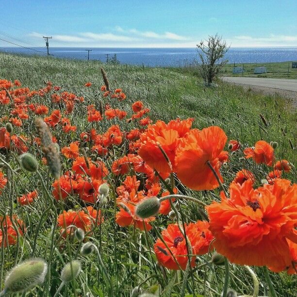Poppies,  Newfoundland