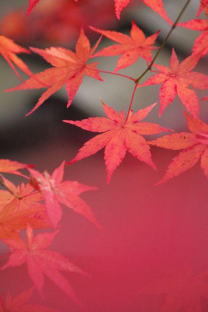 もみじ by mizuk@, via Flickr