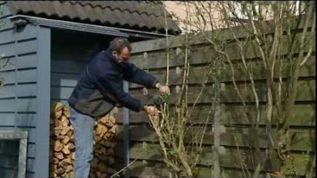Hoe kan ik een vlinderstruik snoeien? (tuinieren) - Instructies - Weethetsnel.nl