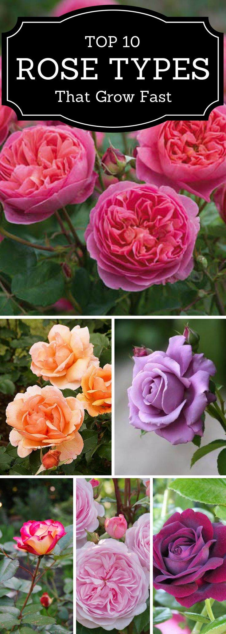 #flowers #the top 10 types of roses that grow fast and will look good in your yard. #gardening tips.